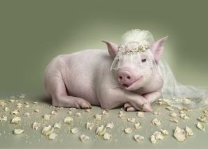 pig-wedding[1]